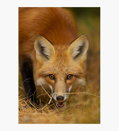 Red Fox close-up, Algonquin Park Photographic Print