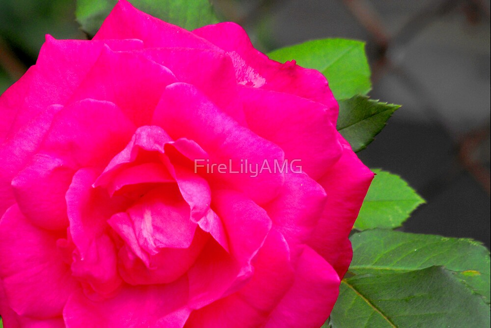 Fuschia Dawn by FireLilyAMG