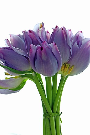 Lavender Tulips by Extraordinary Light