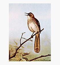 Brown Thrasher Bird Art Photographic Print