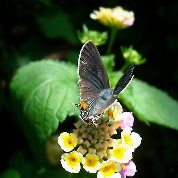 Hairstreak Butterfly Basking by MayLattanzio