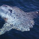Mola Mola by jenndes
