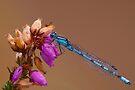 Female Common Blue Damselfly by Neil Bygrave (NATURELENS)