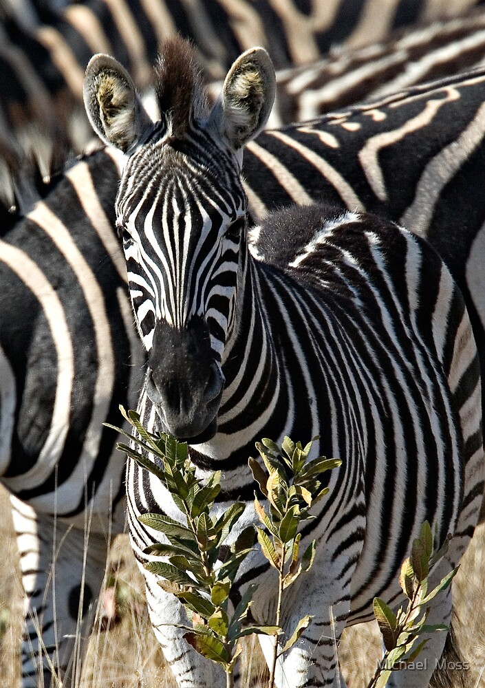 Zebra Stripe Confusion by Michael  Moss