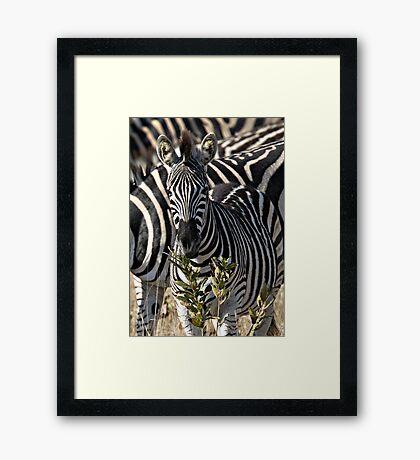 Zebra Stripe Confusion Framed Print