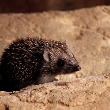 A Wild Baby Hedgehog (Erinaceidae) at Home in Our Garden in Romania (2) by ZipaC