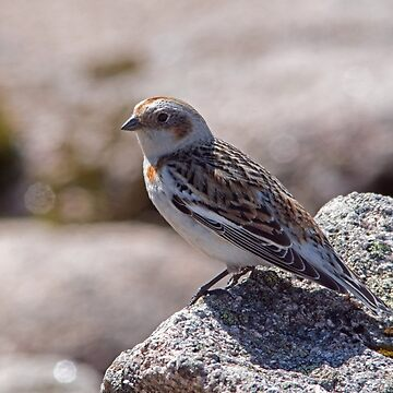 Snow Bunting on Cairngorm by VoluntaryRanger