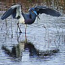 Tricolored Heron shading its prey by enyaw