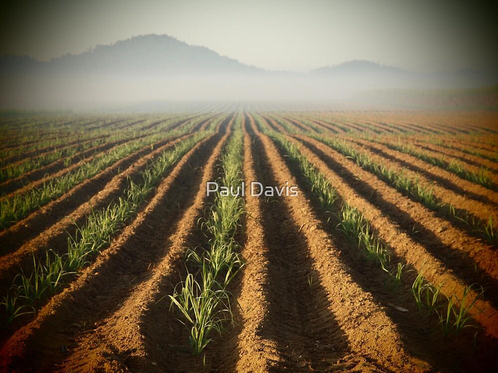 Sweet Fields - Sugar Cane - Bramston Beach - Queensland - Australia by Paul Davis