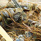 Zebra Mussels by WildestArt