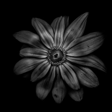 Backyard Flowers In Black And White 34 by learningcurveca