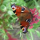 Peacock Butterfly by pat oubridge