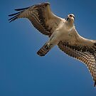 Osprey Flyover by TJ Baccari Photography
