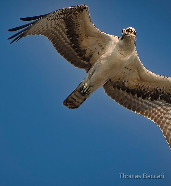 Osprey Flyover by TJ Baccari Photography