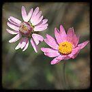 Pink Daisies by Miriam Shilling