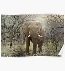 Elephant at Thanda Game Reserve KwaZulu-Natal Poster
