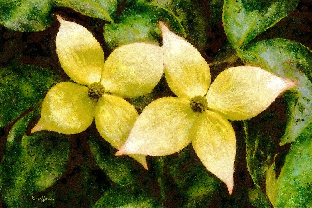 Korean Dogwood Stars by Kenneth Hoffman
