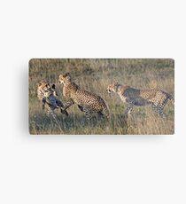 Cheetah Males Playing Metal Print
