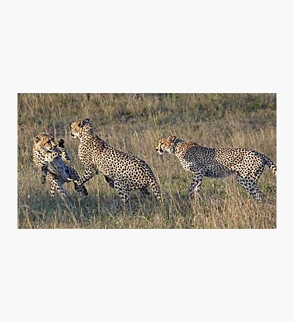 Cheetah Males Playing Photographic Print