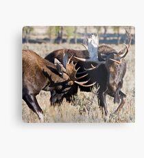 Moose Bulls Sparring Metal Print