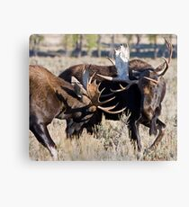 Moose Bulls Sparring Canvas Print