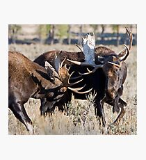 Moose Bulls Sparring Photographic Print