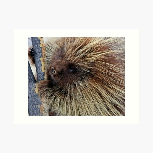 Porcupine Hard At Work Art Print