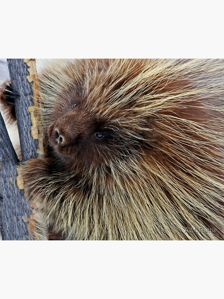 Porcupine Hard At Work by annruttle