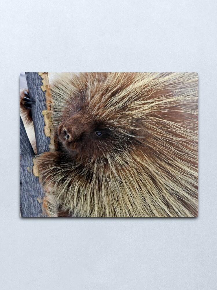 Alternate view of Porcupine Hard At Work Metal Print