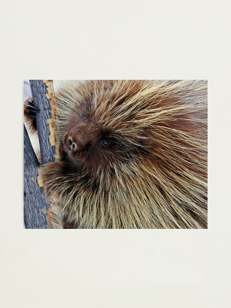 Alternate view of Porcupine Hard At Work Photographic Print