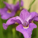 Accentuated Iris by rdotter