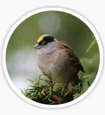 Golden Crowned Sparrow Sticker