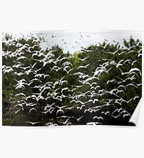 CATTLE EGRETS Poster
