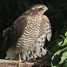 female sparrowhawk by gruntpig