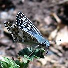 Butterfly ~ Common Checkered Skipper by Kimberly Chadwick