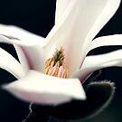 colourful heart magnolia by mooksool