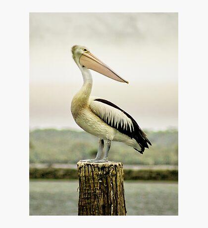 Pelican Poise Photographic Print