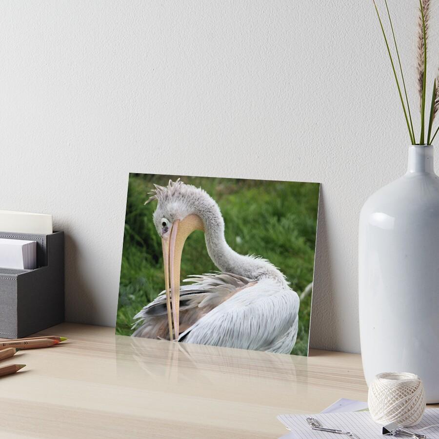 Preening Pelican Art Board Print