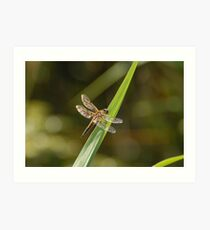Four-spotted Chaser Dragonfly Art Print