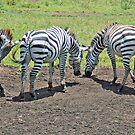 Zebra Panorama, Ngorongoro Crater, Taanzania, Africa by Adrian Paul