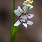 Warrandyte Wildflower by hugo