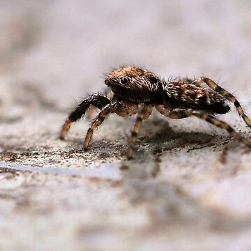 itsy bitsy tini wini baby jumping spider by cuprum