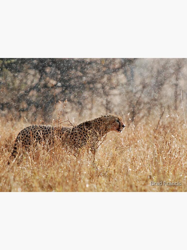 Cheetah in Serengeti rain by bfra
