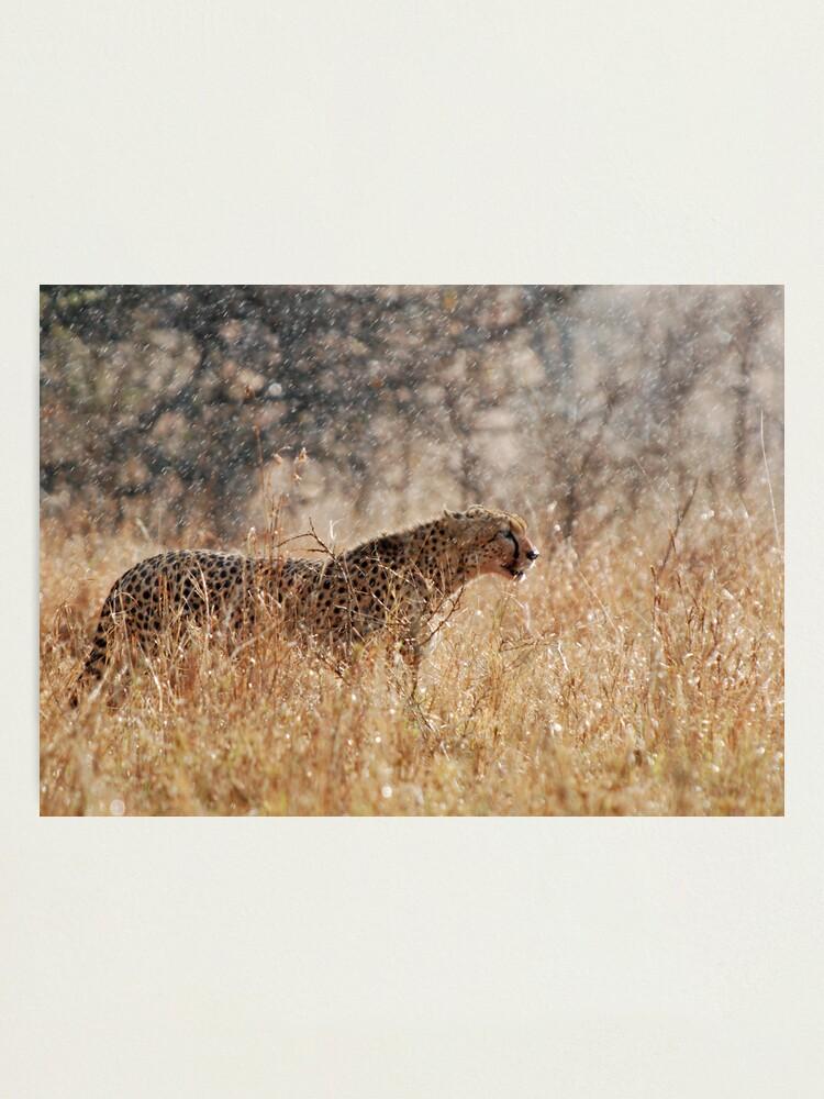 Alternate view of Cheetah in Serengeti rain Photographic Print