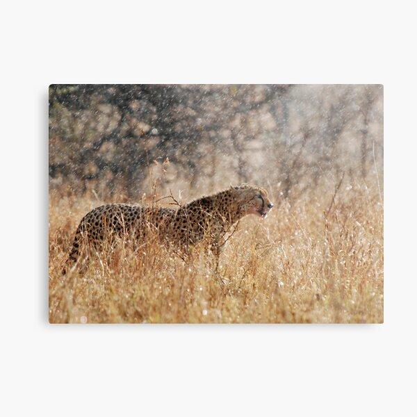 Cheetah in Serengeti rain Metal Print