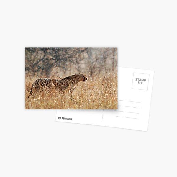 Cheetah in Serengeti rain Postcard