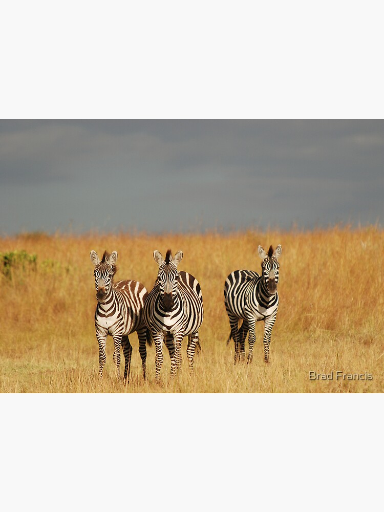 Zebras in the Masai Mara by bfra