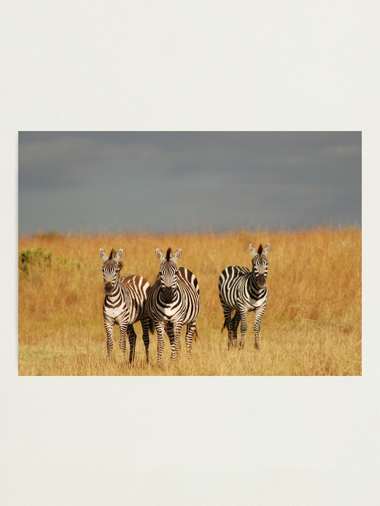 Alternate view of Zebras in the Masai Mara Photographic Print