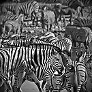 Zebras hypnosis by Saka