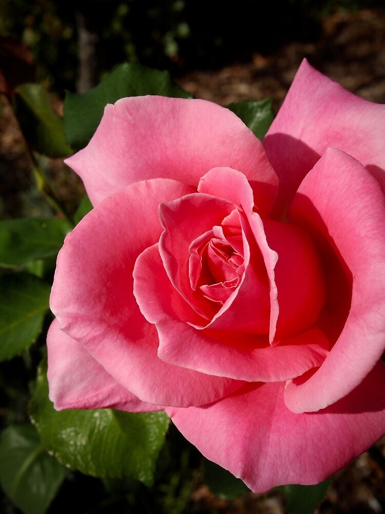 """""""Bewitched"""" Rose from my garden by Douglas E.  Welch"""